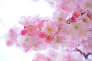 Japanese Cherry Trees Flowers Spring  - Hans / Pixabay