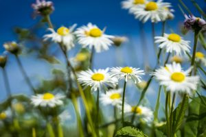 Spring Field Daisy Nature Colorful  - Anestiev / Pixabay